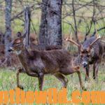 Hunting the Deer Rut Day 4: Know Intruder Bucks Are Another Problem Dominant Buck Deer Must Solve During the Rut