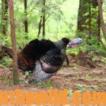 Study the Turkey Hunting Tactics of the Pros for Success Day 3: Turkeys That Walk and Talk with Terry Rohm
