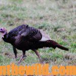 Study the Turkey Hunting Tactics of the Pros for Success Day 2: High-Pressured Turkeys with Allen Jenkins and David Hale