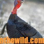 What's the Truth about Taking Turkeys with .410 Shotguns Day 3: Better Sighting Systems, Tighter Chokes, and More Effective Shells for Taking Turkeys