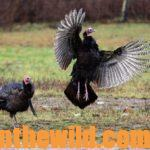 Nationally-Known Turkey Hunter Joe Drake Names His Toughest Gobblers Day 5: Joe Drake Explains about the Turkey Breeding Season and When's the Best Odds to Take 2-Year-Old and Boss Gobblers