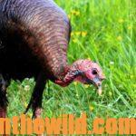 Guide Trey Dorman Tells about His Favorite Turkey Hunts Day 2: You Still Can Take Turkeys on Windy Days with Trey Dorman