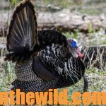 Learn about Deer, Turkeys and a Panther Attack with Guide Jason Cook Day 2: The First Time Jason Cook Was a Turkey Guide