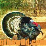 Eastern and Osceola Turkeys Versus Western Turkeys: Differences in Calling and Hunting Them with Ryan Solomon Day 3: You Must Understand the Differences in How Eastern and Western Turkeys Respond to Calling to Hunt Successfully with Guide Ryan Solomon