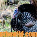Eastern and Osceola Turkeys Versus Western Turkeys: Differences in Calling and Hunting Them with Ryan Solomon Day 4: Guide Ryan Solomon's Favorite Turkey Calls