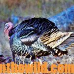 Why and How to Hunt Tough Turkeys and Gobblers You May Miss Day 2: John Phillips Takes the Unlucky Gobbler But Misses the Other Gobbler
