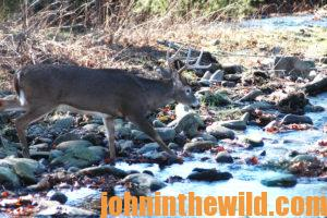 A deer at the edge of a creek