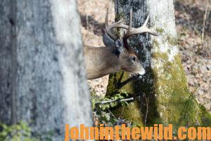 A deer emerges from behind a tree