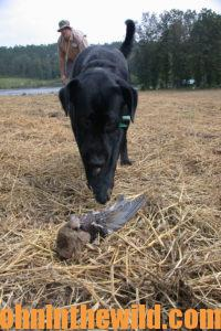 A dog points out a downed dove